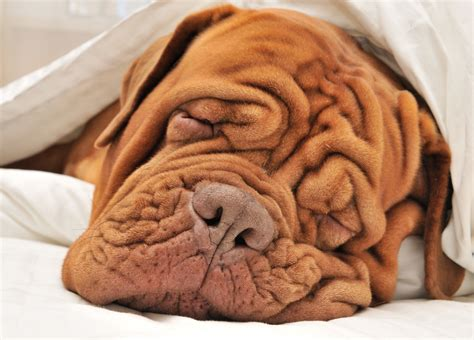 wrinkly puppies where do wrinkles come from wonderopolis