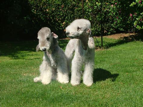 Filebedlington  Ee  Terrier Ee   Jpeg Wikimedia Commons