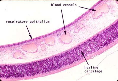 trachea transverse section trachea histology google search res tract pinterest