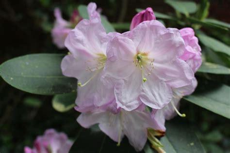 biltmore estate azaleas hgtv