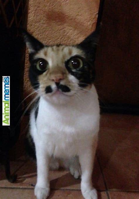 Mustache Cat Meme - 919 best images about cat memes on pinterest aliens