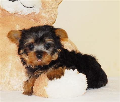 free yorkie puppies in az dogs az free classified ads