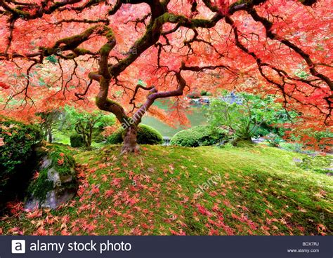 japanese maple tree in fall color portland japanese gardens oregon stock photo royalty free