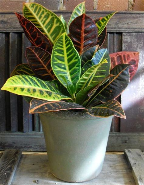 how to care for tropical house plants croton plant medium care tropical plants