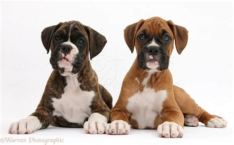 8 week boxer puppy dogs boxer puppies 8 weeks lying up photo wp38641