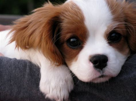 king charles cavalier puppies puppy cavalier king charles spaniel