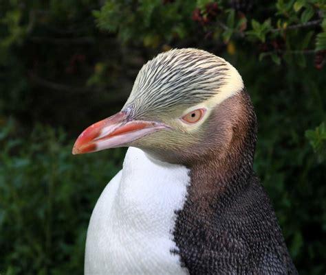 Yellow-eyed Penguin – paper piecing | Factotum of Arts