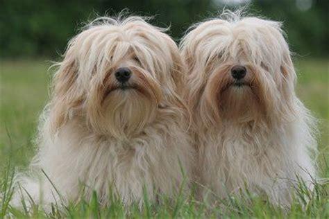 havanese potty problems 260 best havanese dogs balls of fluffy images on havanese dogs