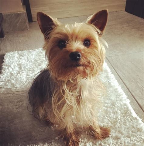 yorkies on instagram 21 motivos para nunca adotar um terrier