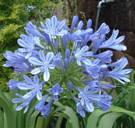 agapanthus cape lily amsterdam sophie pot plant for sale buy online for only 163 4 49