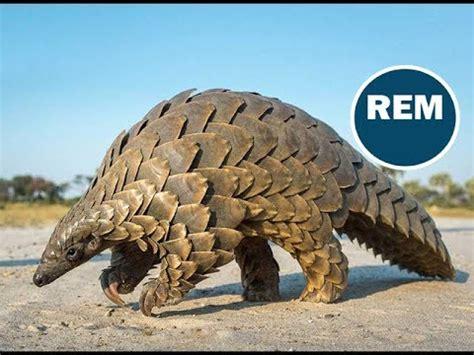 imagenes animales con escamas oso hormiguero con escamas pangol 237 n youtube