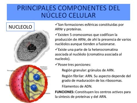 pics photos imagen tomada funciones nucleo ecro clelula pics photos imagen tomada funciones nucleo ecro funciones de la membrana celular youtube el