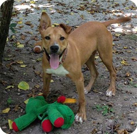boxer puppies indianapolis baxter adopted puppy indianapolis in boxer labrador retriever mix
