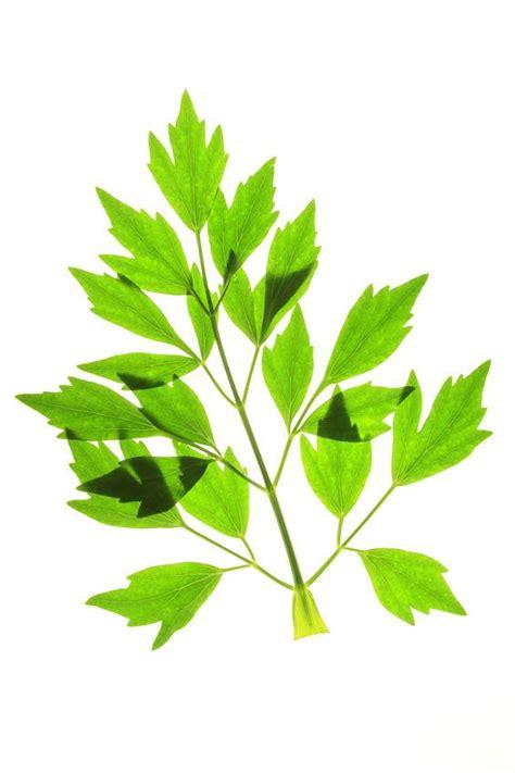 levistico in cucina clever storage erbe aromatiche versatili