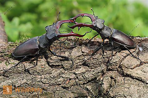 käfer im garten k 195 164 mpfende hirschk 195 164 fer bilder wildlife media
