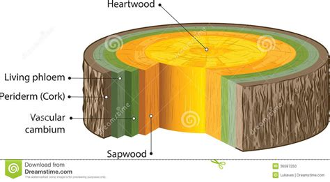 cross section of a woody stem woody stems stock photo image 36587250