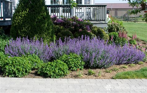 walkers  catmint