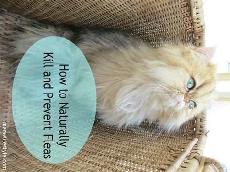 how to remove fleas from how to naturally kill and prevent fleas meow lifestyle