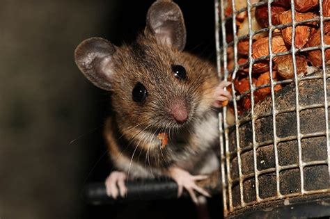 Garden Mouse by Woodpecker And Wood Mouse