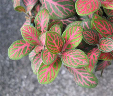 identify plant  green leaves  red veins