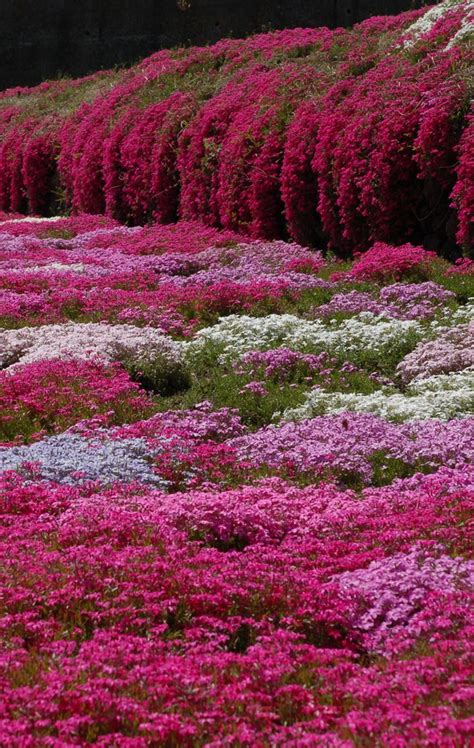 Pink Flower Garden Moss Phlox Nagano Japan Great Ground Cover Trailing Plant For Rock Walls Etc Pink Flower
