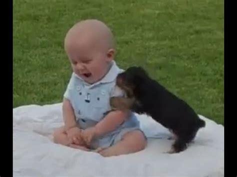 boy yorkie puppies yorkie puppy attack my baby boy
