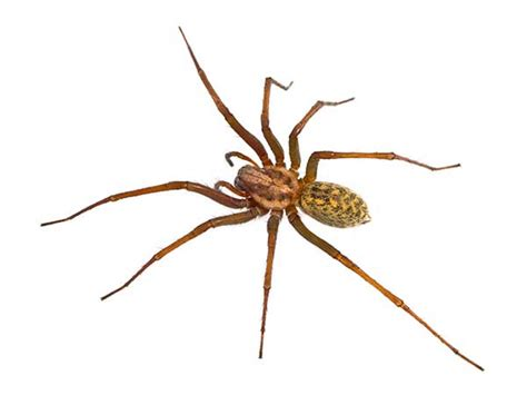 House Spider Seattle by Spider Inspection Removal Stop Bugging Me Pest
