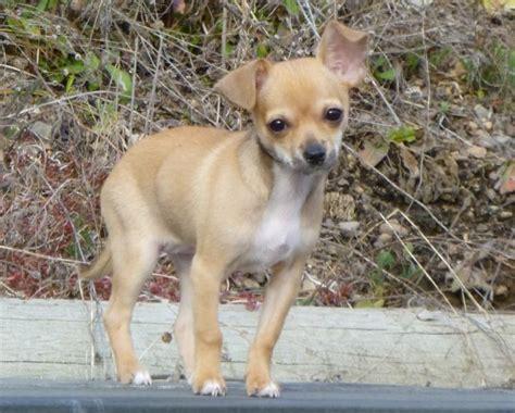 rescue small dogs inland small rescue