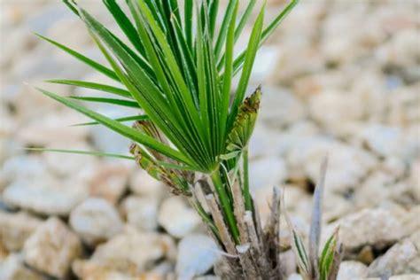 garten yucca umpflanzen palmlilie 187 pflegen schneiden vermehren und merh