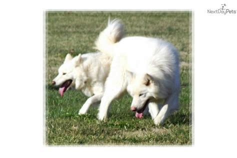 wolf puppies for sale in nc wolf hybrid puppy for sale near raleigh durham ch carolina 04c3b648 13b1