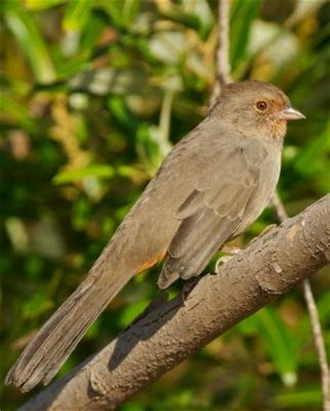 17 best images about beautiful california towhee