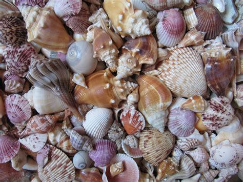 best beaches for seashells shelling on sanibel island florida 171 treasures and