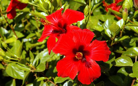 wallpaper with flowers wallpapers hibiscus flowers wallpapers