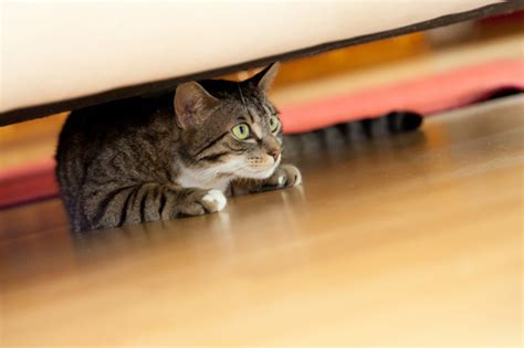 new cat hiding under bed cat hiding