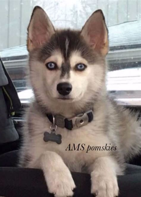 breeder indiana 25 best pomsky breeders ideas on pomsky