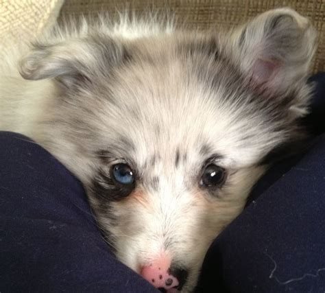 pomeranian sheltie mix 17 best images about poshie puppy on beautiful birthdays and