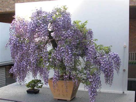 pianta glicine vaso glicine bonsai wisteria floribunda w sinensis