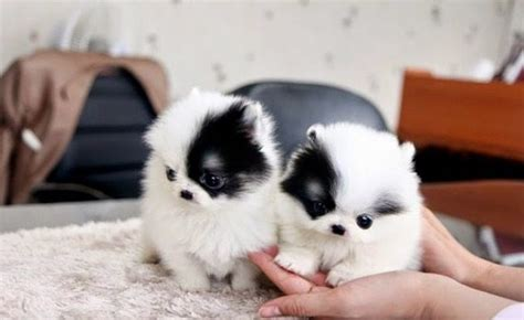 teacup pomeranians for sale in louisiana micro teacup pomeranian for sale teacup pomeranian