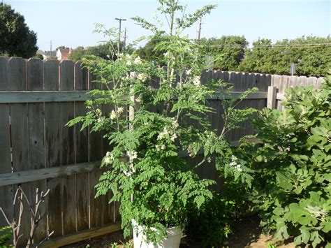 What Fruit Trees Grow In Texas - forum drumstick tree