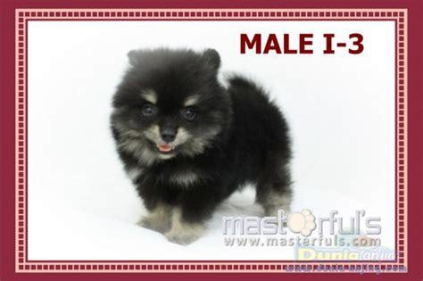 miniature pomeranian black dunia anjing jual anjing pomeranian sale puppy mini pomeranian black