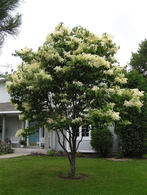 lilac tree information best 20 japanese lilac tree ideas on pinterest dwarf