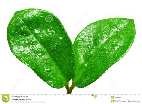 imagenes de hojas verdes solas gotas del agua en las hojas verdes frescas foto de archivo