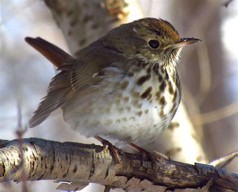 what is a bird adirondack birds soulful of the hermit thrush the adirondack almanack
