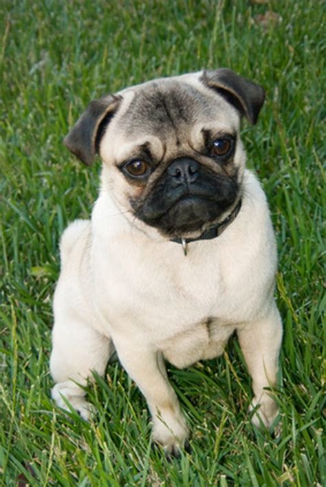 pictures of pugs dogs signs symptoms of a pug