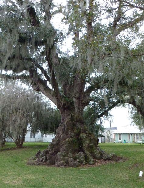 oak tree rubber st burl oak st martinville la tree trees