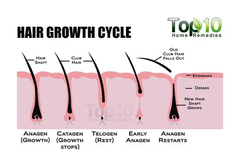 Shedding Phase Of The Hair Growth Cycle by Bashful Lash Llc