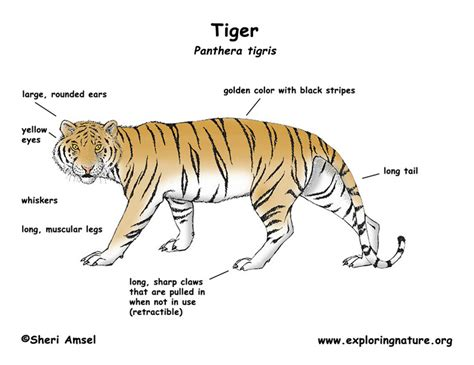 image gallery tiger characteristics