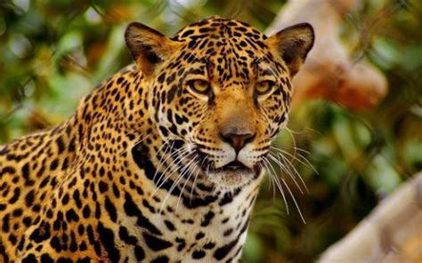 jaguar live jaguar live wallpaper hd app for android