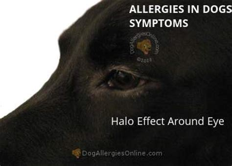 allergy eye drops for dogs allergies in dogs symptoms itchiness pruritus