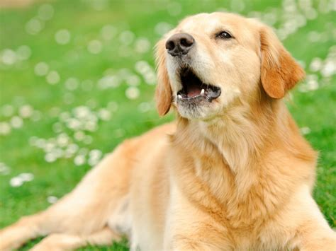 why do golden retrievers howl why do dogs howl american kennel club